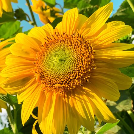 Beautiful decorative sunflower at sunset. Natural background. Yellow flowers. Helianthus. Flower bed in the garden 写真素材