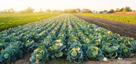 Cabbage plantations in the sunset light. Growing organic vegetables. Eco-friendly products. Agriculture and farming. Plantation cultivation. Selective focus Imagens