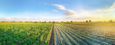 Panoramic photo of a beautiful agricultural view with pepper and leek plantations. Agriculture and farming. Agribusiness. Agro industry. Growing Organic Vegetables Banque d'images