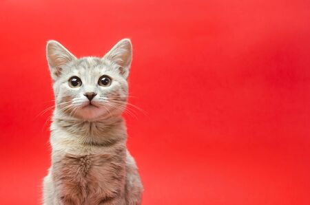 Gray tabby cat on a red background. Animal portrait. Pet. Place for text. Copy space Stock fotó