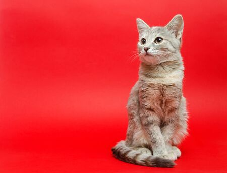 Gray tabby cat on a red background. Animal portrait. Pet. Place for text. Banco de Imagens