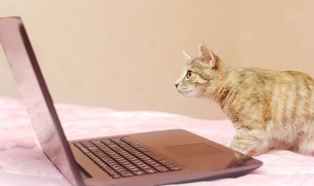 Little gray cat sits at a laptop and looks at it. Search for information. Modern technologies. Pet, animal
