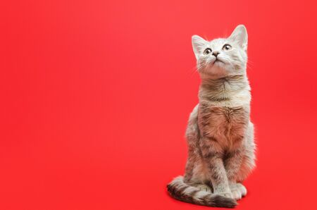 Gray tabby cat on a red background. Animal portrait. Pet. Place for text. Copy space. Stok Fotoğraf