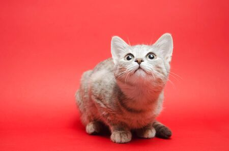 Gray tabby cat on a red background. Animal portrait. Pet. Place for text. Copy space. Stock Photo