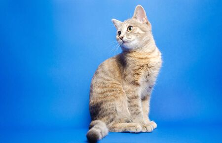 Gray tabby cat on a blue background looks up. Animal portrait. Pet. Place for text. Copy space. 版權商用圖片