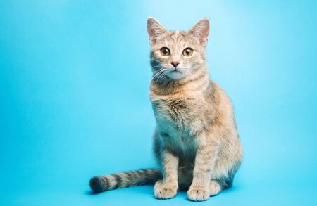 Gray tabby cat on a blue background is looking at the camera. Animal portrait. Pet. Place for text. Copy space