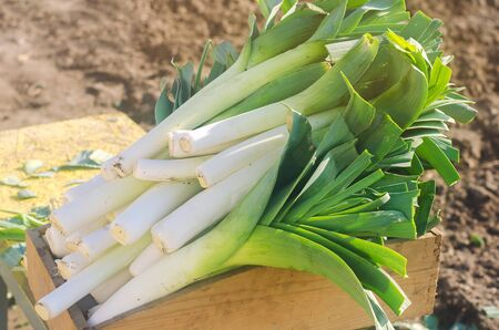 Freshly picked leek in box. Harvest. Harvesting. Agriculture and farming. Agribusiness. Agro industry. Growing Organic Vegetables. Selective focus