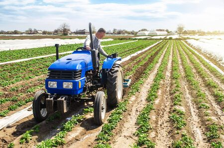 Farmer tillage cultivates a field plantation of young Riviera potatoes. Weed removal and improved air access to plant roots. Fertilizer with nitrate and plowing soil for further irrigation irrigation. Foto de archivo