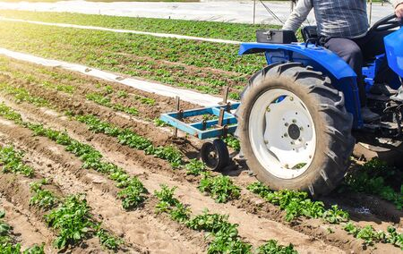 Tractor plows loosens the land of a plantation of a young Riviera variety potato. Weed removal and improved air access to plant roots. Plowing land. Cultivation of an agricultural crop field.