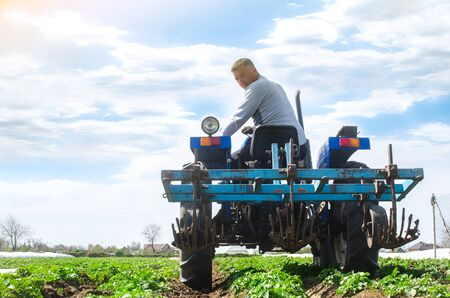 A farmer rides a tractor across the field and looks back. Agricultural farm field cultivation. Young potato bushes plantation. Loosening soil to improve air access to the roots of plants.