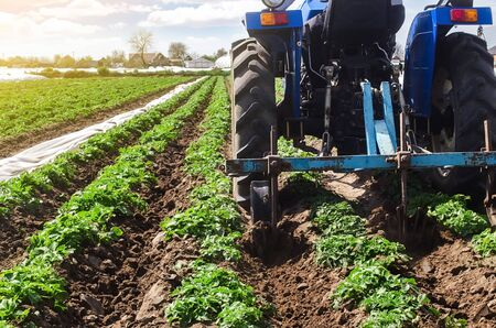 Tractor plows loosens the land of a plantation of a young Riviera variety potato. Weed removal and improved air access to plant roots. Cultivation of an agricultural crop field. Plowing land