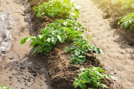 Potato plantation on a farm field. Cultivation and care, harvesting in late spring. Agroindustry and agribusiness. Agriculture, growing food vegetables. Organic farming products. Watering irrigation