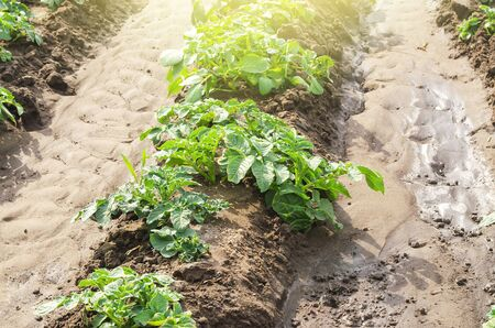 Young potato bushes landed in a row on a farm field. Agriculture and crop vegetables production. Agroindustry and agribusiness. Organic farming products. Watering, fertilizers and pest protection. Stock Photo