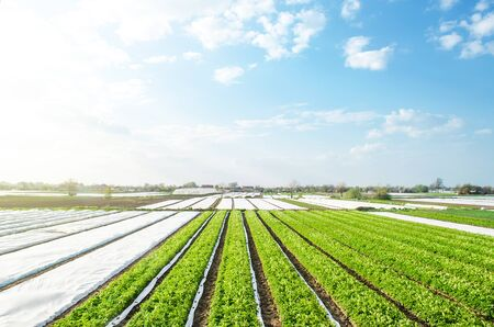 Farm potato plantation fields on a sunny day. Agriculture agribusiness. Growing vegetables food. Agricultural sector of the economy. Use spunbond agrofibre technology to protect crop from cold weather