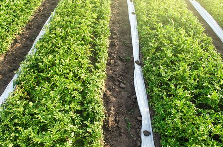 Plantation of potato bushes and rolled white agrofibre spanbond coating to protect crop from bad weather and frost. Use of new technologies and methods for an earlier harvest. Agricultural industry Foto de archivo