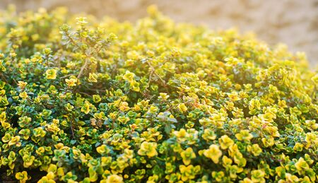 Yellow bush of lemon thyme. Thymus citriodorus. Perennial herb with a characteristic lemon scent of leaves. Soft selective focus.