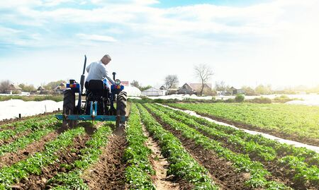 A farmer on a tractor cultivates the soil on the plantation of a young potato of the Riviera variety Type. Loosening the soil to improve air access to the roots of plants. Agricultural farm field.