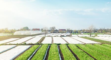 Landscape of farmland plantations covered with agrofiber. Agroindustry and agribusiness. Organic farming products in Europe. Agricultural industry growing potatoes vegetables. Beautiful countryside Foto de archivo