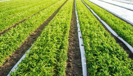 Opened with under agrofiber plantation potato bushes. Cultivation, harvesting in late spring. Growing a crop on the farm. Agroindustry and agribusiness. Agriculture, growing food vegetables.