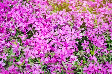 Beautiful pink flowers Phlox subulata in a sunny garden. Spring flower. Soft selective focus