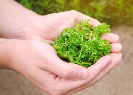 The farmer holds freshly picked parsley in his hands. Harvesting, harvest. Organic greens. Agriculture and farming. Selective focus.