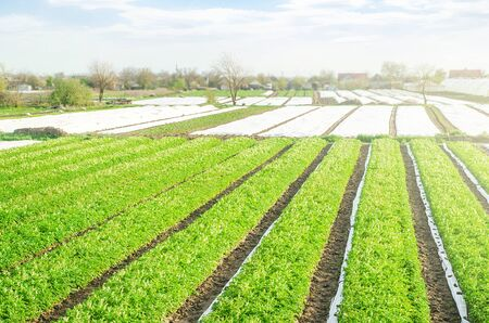 Farm potato plantation fields on a sunny day. Growing vegetables food. Agriculture agribusiness. Use spunbond agrofibre technology to protect crop from cold weather. Agricultural sector of the economy