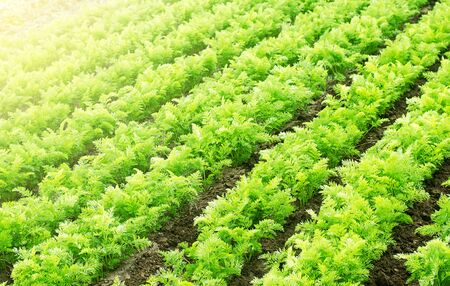 Farm agricultural field of carrots plantation. Agroindustry and agribusiness. Agriculture, growing organic food vegetables. Cultivation and care, harvesting. Ecological agriculture. Farmland