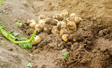 Freshly picked potatoes in a field close-up. Harvesting, harvest. Organic vegetables. Agriculture and farming. Gardening. Selective focus. Banque d'images