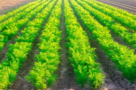 Plantations of young carrots grow in the field on a sunny day. Vegetable rows. Growing vegetables. Farm. Crops Fresh Green Plant. Agriculture, farming. Carrot. Selective focus Banque d'images