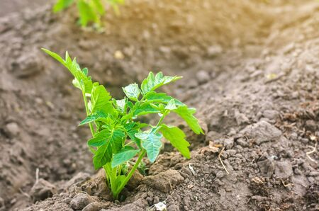 A young tomato seedling grows in the garden. Growing organic vegetables. Eco-friendly products. Agriculture and farming. Selective focus Foto de archivo