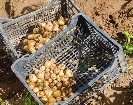 A boxes of freshly picked potatoes in a field. Harvesting, harvest. Organic vegetables. Agriculture and farming. Gardening. Selective focus.