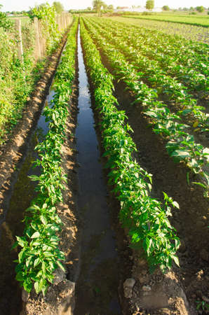 Irrigation and growing young pepper in the field. Watering of agricultural crops. Farming and agriculture. Agroindustry and agribusiness. Countryside. Close-up. Selective focus Foto de archivo