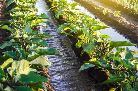 Water flows through irrigation canals on a farm eggplant plantation. Conservation of water resources and reduction pollution. Caring for plants, growing food. Agriculture and agribusiness.