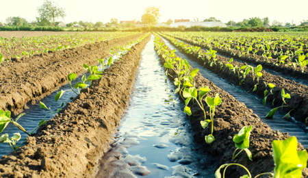 Water flows through irrigation canals on a farm eggplant plantation. Caring for plants, growing food. Agriculture and agribusiness. Conservation of water resources and reduction pollution.