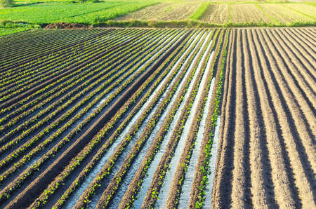 Plantation of young eggplant seedlings is watered through irrigation canals. Caring for plants, growing food. European farm, farming. Agronomy. Agriculture and agribusiness. Rural countryside