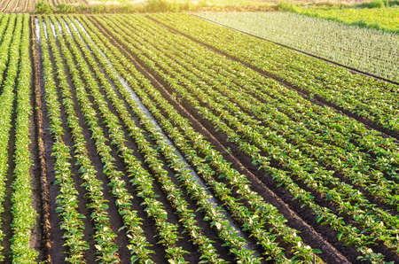 Plantation landscape of green potato bushes. Agroindustry and agribusiness. European organic farming. Beautiful countryside farmland. Growing food on the farm. Growing care and harvesting. Aerial view