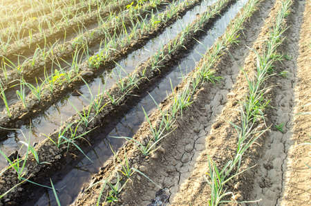 Green leek onion plantation with water in irrigation canals.Conservation of water resources and reduction pollution. Caring for plants, growing food. Agriculture and agribusiness. Reklamní fotografie