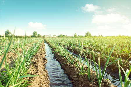 Landscape leek onion plantation and water flows through irrigation canals. Agriculture and agribusiness. Conservation of water resources and reduction pollution. Caring for plants, growing food.