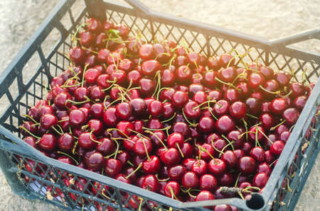 Box of freshly picked red cherries in the garden. Fresh organic fruits. Summer harvest. Selective focus.