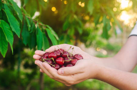 The farmer holds freshly picked red cherries in his hands. Fresh organic fruits. Summer harvest. Garden. Selective focus. Reklamní fotografie
