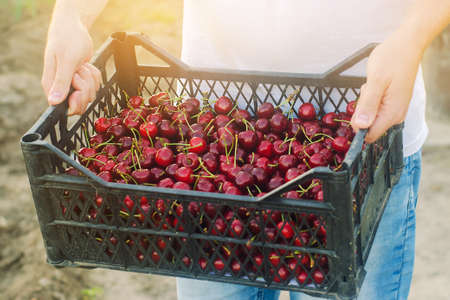 A farmer holds a box of freshly picked red cherries in the garden. Fresh organic fruits. Summer harvest. Selective focus. Reklamní fotografie
