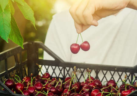 A farmer holds a box of freshly picked red cherries in the garden. Fresh organic fruits. Summer harvest. Selective focus. 版權商用圖片