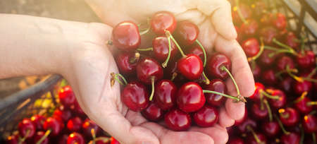 Farmer holds freshly picked red cherries in a box. Fresh organic fruits. Summer harvest. Selective focus.