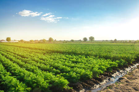 Watering plantation landscape of green carrot bushes. European organic farming. Growing food on the farm. Growing care and harvesting. Agroindustry and agribusiness. Root tubers. Selective focus 版權商用圖片