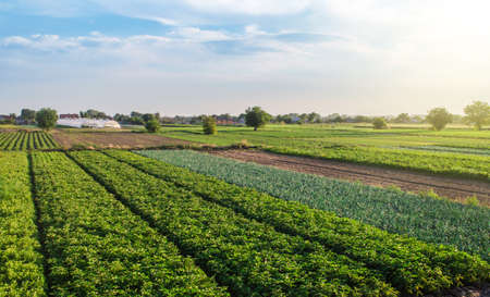 Landscape of green potato bushes plantation. Agroindustry and agribusiness. Wonderful european summer countryside landscapes. Growing food on farm. Aerial view Beautiful countryside farmland. 版權商用圖片