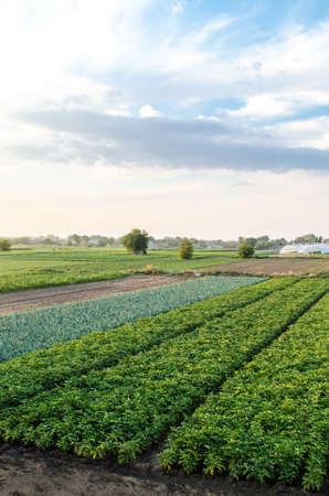 Landscape of green potato bushes plantation. Growing food on farm. Agroindustry and agribusiness. Wonderful european summer countryside landscapes. Aerial view Beautiful countryside farmland. 版權商用圖片
