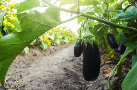 Dark ripe eggplant fruits hang from the bush. Agriculture, farm. Growing fresh organic vegetables on the farm. Food production. Solanum melongena L. Agroindustry and agribusiness. Selective focus Foto de archivo