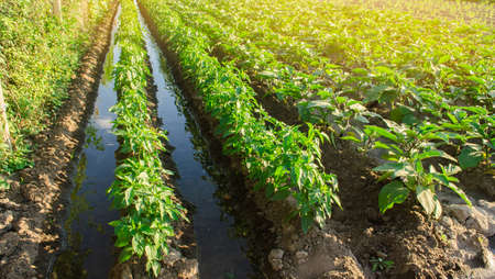 Irrigation and growing young pepper in the field. Watering of agricultural crops. Farming and agriculture. Agroindustry and agribusiness. Countryside. Stock Photo