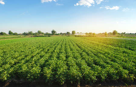 Plantation landscape of green potato bushes. European organic farming. Growing food on the farm. Growing care and harvesting. Agroindustry and agribusiness. Selective focus