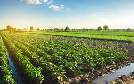 Eggplant plantations grow in the field on a sunny day. Organic vegetables. Agricultural crops. Landscape. Agroindustry and agribusiness. European farming. Agriculture. Aubergine. Selective focus Stock Photo - 155821158